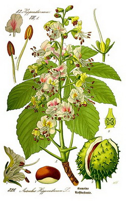371px Illustration Aesculus hippocastanum0 clean